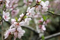 三月里的粉色桃花