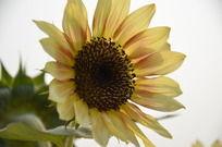 盛开的黄色向日葵