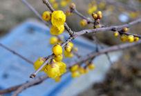 盛开的腊梅花枝