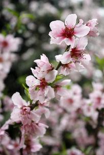 鲜艳的粉色桃花