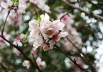 一簇粉色桃花