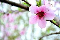 一朵粉色桃花