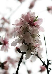 一枝粉色桃花