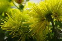 绽放的皇冠菊
