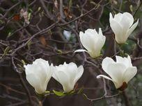 枝头的白玉兰花