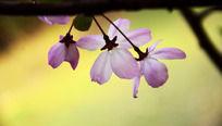 粉色垂丝海棠