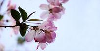 粉色西府海棠