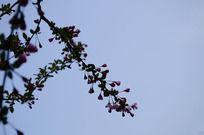 海棠花枝剪影
