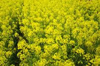 黄色油菜花园