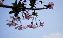 空中的海棠