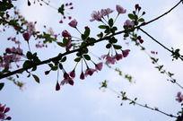 蓝天下的海棠花枝