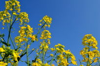 蓝天下的油菜花朵