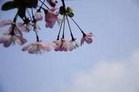 天空下的垂丝海棠