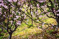 唯美海棠树林