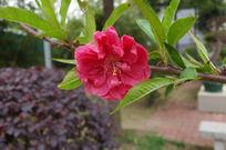 一枝红桃花