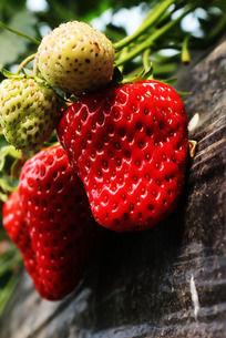 成熟和没成熟的草莓