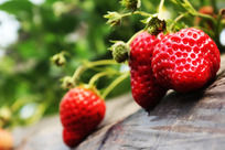 大棚里的草莓