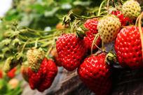 一串串草莓