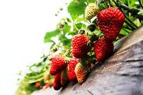一大串草莓