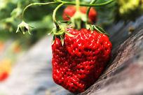一颗大草莓
