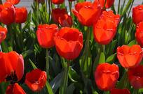 红色郁金香花丛