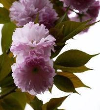 亮丽通透的樱花