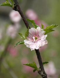 一朵粉色的桃花