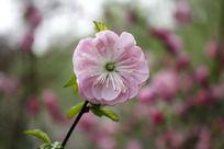 一朵粉桃花
