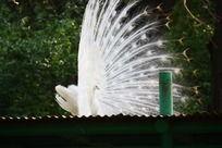 白色孔雀开屏侧拍