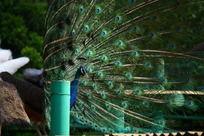 蓝绿色孔雀开屏