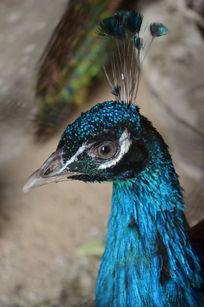 蓝色羽毛孔雀头部