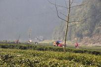 茶田里的茶农