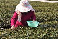 正采摘的茶农