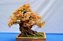 枫叶盆景植物