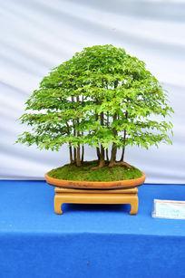 绿色盆景植物