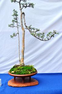 针叶松盆栽植物