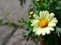 淡黄色菊花