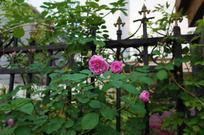 栅栏上的蔷薇花