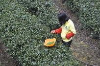 采摘茶叶的茶农
