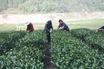 茶田的茶农