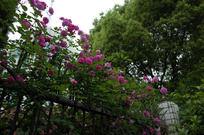 铁栅栏上的蔷薇花