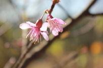 两朵粉色樱花