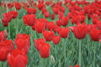 郁金香花丛
