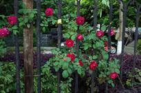 栅栏上的红色蔷薇花