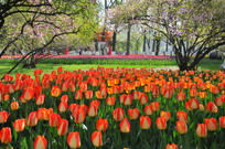 盛开的郁金香花丛