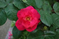 一朵大红蔷薇花