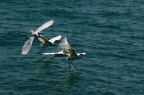 海洋白鹭飞 白鹭群舞姿