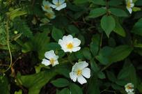 三朵草莓花