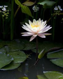 一朵白色的睡莲花