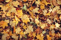 秋天的黄叶